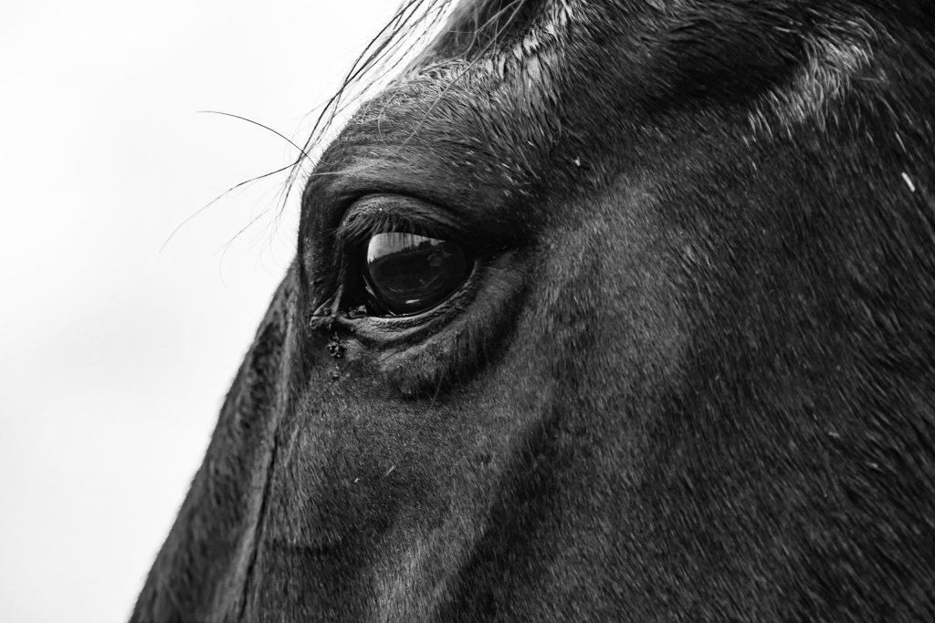 Im Auge des Pferdes