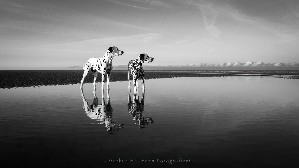 Zwei Dalmatiner